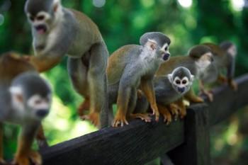 île des singes - Amazonie Pérou