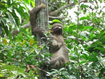 Singe paresseux, Amazonie Pérou