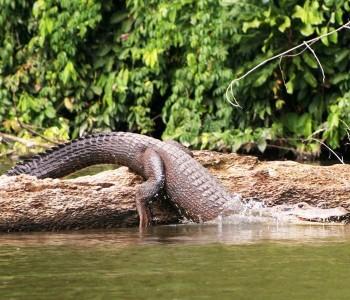 Caïman, Amazonie
