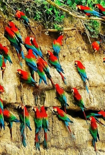 Collpa de Perroquets - Amazonie Pérou