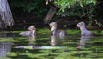 Loutres au lac Sandoval - Amazonie