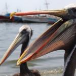 Pelican, Paracas