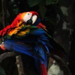 Ara, forêt amazonienne, Pérou