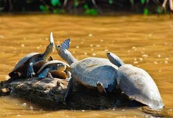 Tortues - Puerto Maldonado, Amazonie