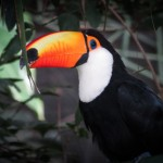 Toucan, bolivie voyage