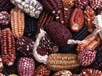 Maïs de la vallée sacrée, Pérou