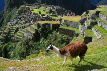 Lama, visite du Machu Picchu