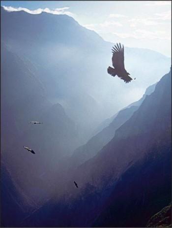 Vol du condor - Canyon de Colca