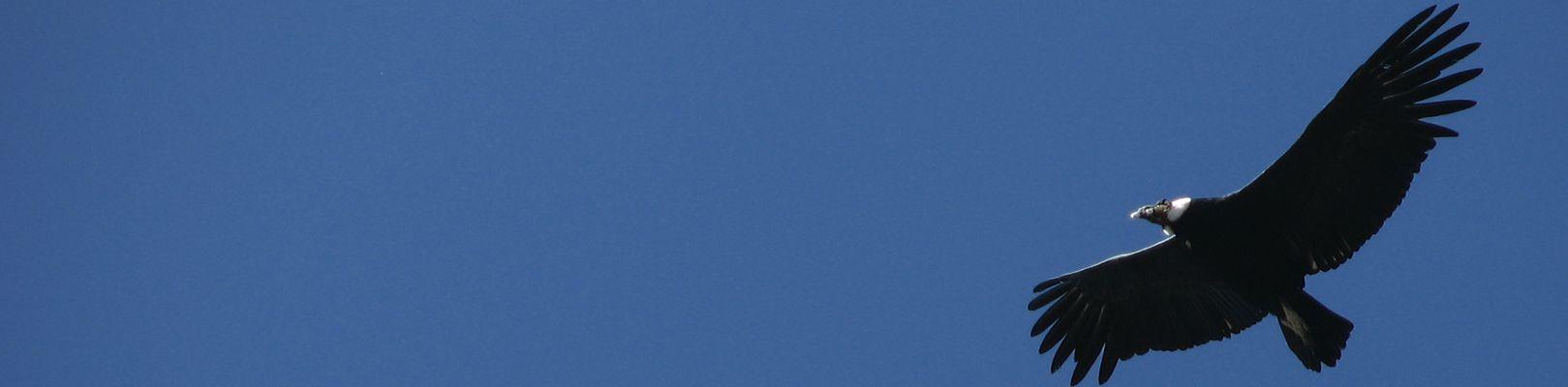 condor-canyon-de-colca