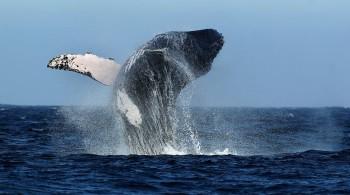 Baleine - Mancora